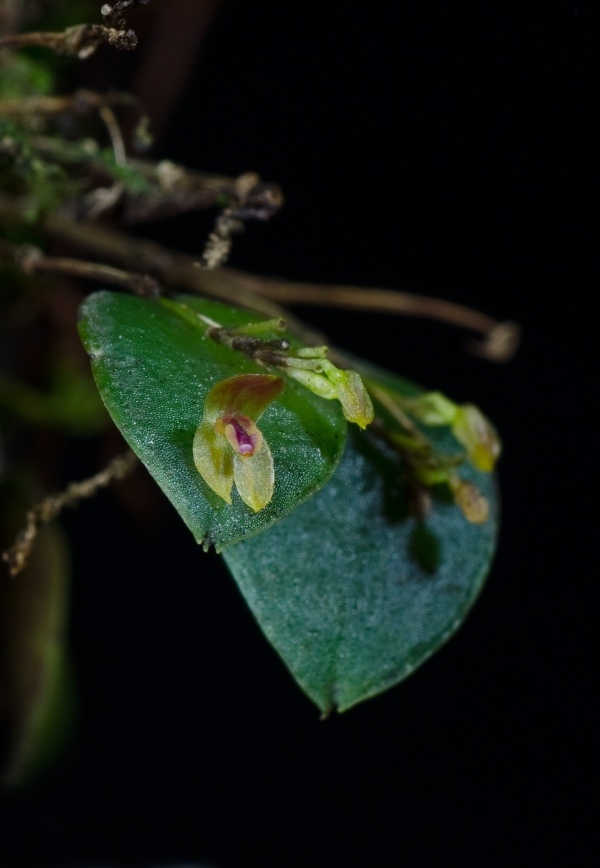 Lepanthes chiriquensis