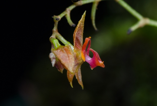 Lepanthes sp